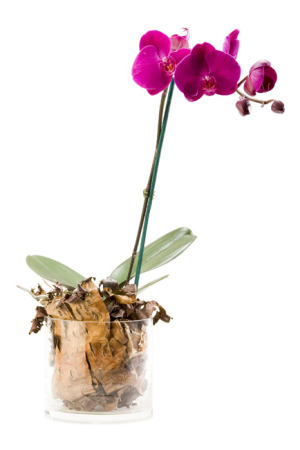 Phalenopsis Orchid Plant  in a Ceramic pot                       White only available at the moment.