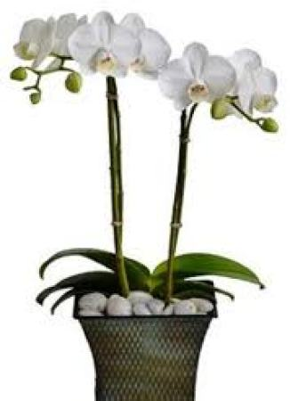 Double stem White Orchids in a white Ceramic Pot